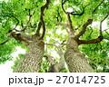 常緑樹、クスノキ、 エコロジーイメージ 27014725