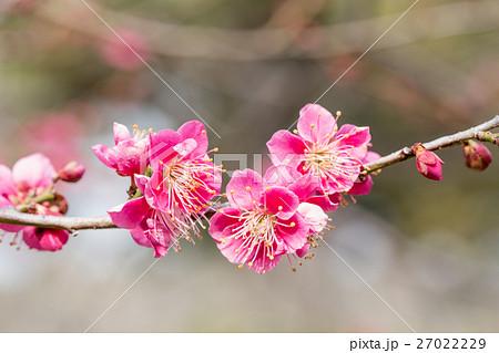 梅 梅の花 うめ 27022229