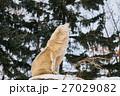 シンリンオオカミ オオカミ 遠吠えの写真 27029082