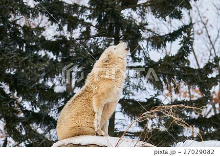 シンリンオオカミの遠吠え 27029082