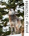 シンリンオオカミ オオカミ 遠吠えの写真 27029084