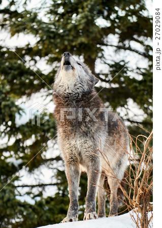 シンリンオオカミの遠吠え 27029084