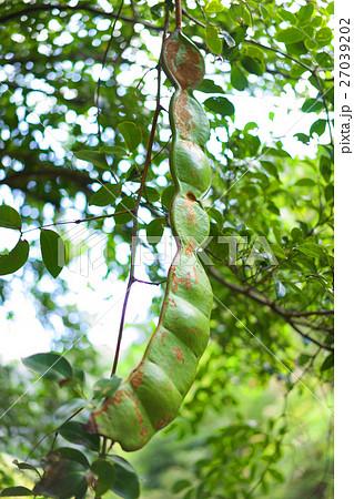 モダマの巨大な豆 27039202