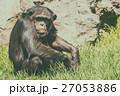 チンパンジー さる サルの写真 27053886