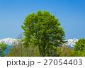 ブナ 飯豊朝日連峰 残雪の写真 27054403