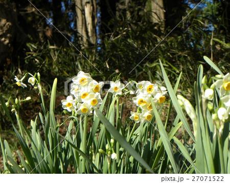 早春の花スイセンは十二月に咲き始めています 27071522