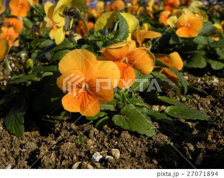 オレンジ色の花のビヲラ 27071894