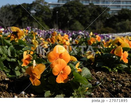オレンジ色の花のビヲラ 27071895