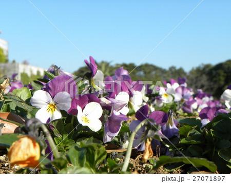 青と白色の花のビヲラ 27071897