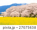 桜 染井吉野 菜の花畑の写真 27075638