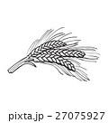 Hand drawn bunch of malt, barley ears 27075927