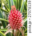 パイナップルー花パイン 27078139