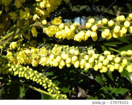 黄色い花はマホニアチャリテイ 27079101