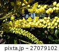 黄色い花はマホニアチャリテイ 27079102
