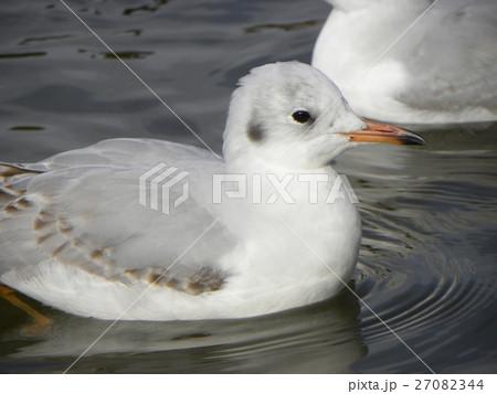 稲毛海浜公園に飛来したユリカモメ 27082344