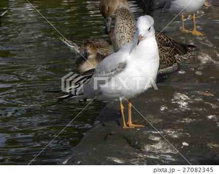 稲毛海浜公園に飛来したユリカモメ 27082345