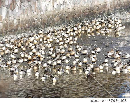 寒い冬の日首を胸に入れ暖を取るオナガガモの群れ 27084463