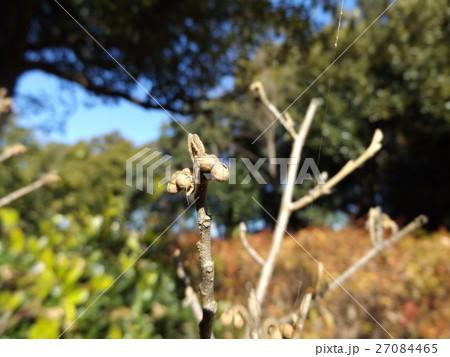 春の最初に咲くマンサクの花の冬芽 27084465