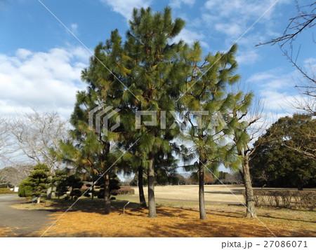 昭和の森の大きな木ダイオウマツ 27086071