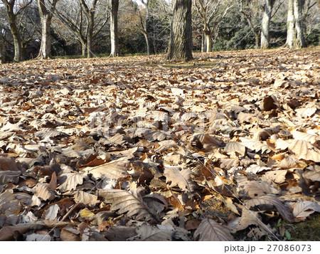 柏の木の落ち葉が沢山 27086073