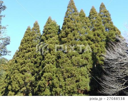 大きく伸びたスギの大木 27088538