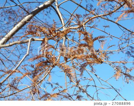 紅葉した昭和の森のメタセコイアの大木 27088896