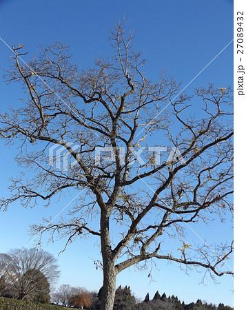 昭和の森太陽の広場の冬の姿のキリノキ 27089432
