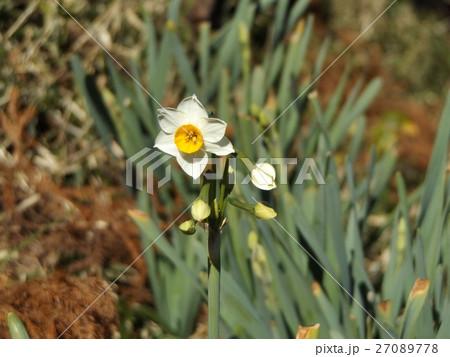 昭和の森には早春の花スイセンが咲いています 27089778