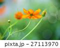 コスモス キバナコスモス オレンジ色の写真 27113970
