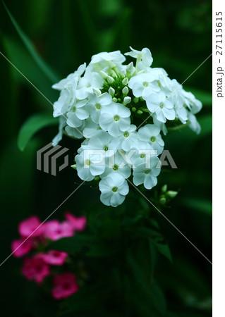 フロックス 白と紅色の花 27115615