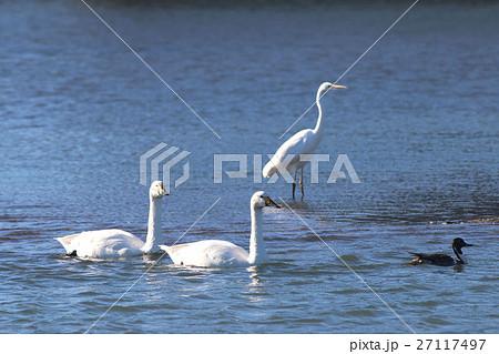 白鳥と白鷺 27117497