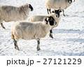 雪の積もるフィールドにたたずむ羊たち スコットランド郊外にて 27121229