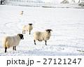 雪の積もるフィールドにたたずむ羊たち スコットランド郊外にて 27121247