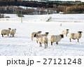 雪の積もるフィールドにたたずむ羊たち スコットランド郊外にて 27121248
