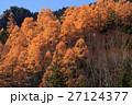 志賀高原 カラマツ 紅葉の写真 27124377