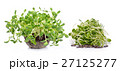 green young sunflower sprouts 27125277