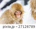 長野_温泉に入る子供猿 27126789
