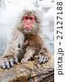 サル ニホンザル 温泉の写真 27127188
