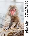 サル ニホンザル 温泉の写真 27127190