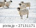 雪の積もるフィールドにたたずむ羊たち スコットランド郊外にて 27131171