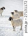 雪の積もるフィールドにたたずむ羊たち スコットランド郊外にて 27131172