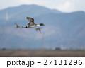 野鳥 渡り鳥 カモの写真 27131296