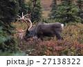 トナカイ デナリ国立公園 27138322