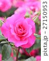 バラの花 27150953