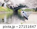 富山_松川に立つアオサギ 27151647