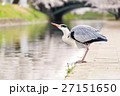 富山_松川に立つアオサギ 27151650