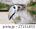 富山_松川に立つアオサギ 27151655