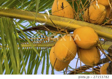 熟したココナッツの実 27153782