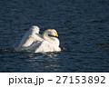 白鳥 野鳥 水鳥の写真 27153892