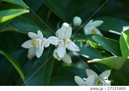 夏蜜柑ナツミカン 花言葉は「花嫁の歓び」 27155800